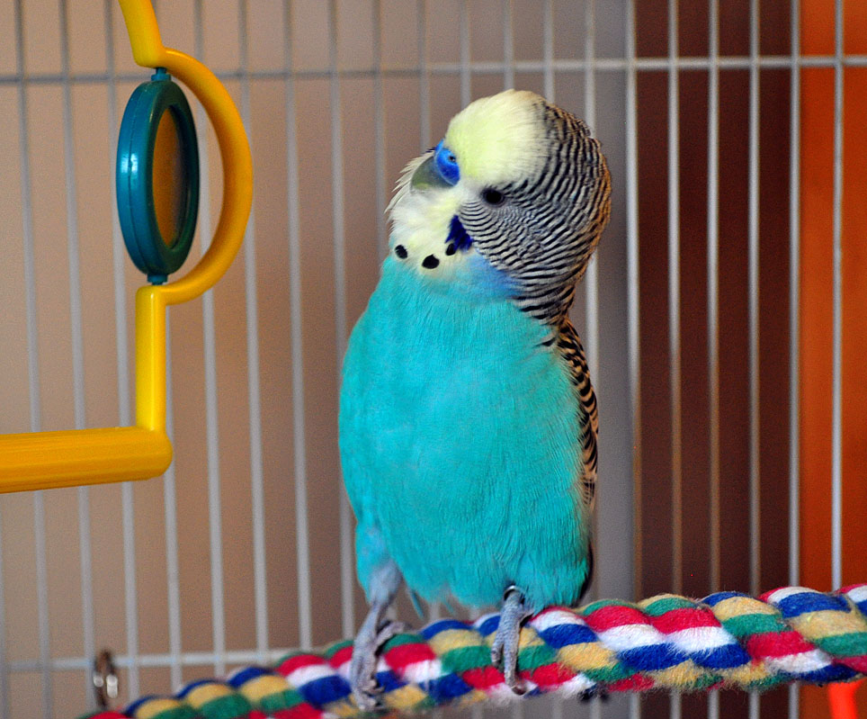 The Girl's Got Sole - Toby Mac budgie